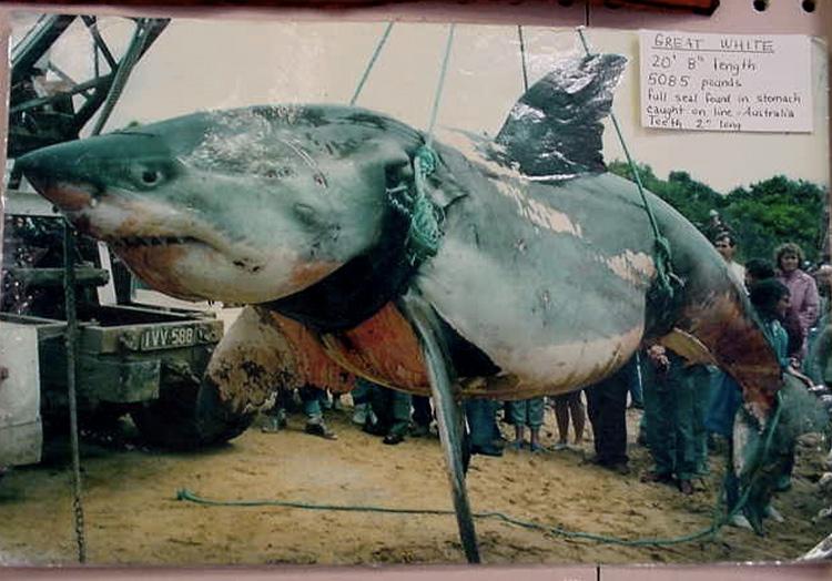 Вес акулы: 2306 кг. В 1970 году у острова Филлипа была поймана самая большая по весу акула в истории. Вес акулы длиной 6,2 метра составил 2306 кг. Хотя это считается абсолютным рекордом, многие ставят его под сомнение, поскольку перед тем как акула была поймана, она успела плотно подкрепиться тюленем, остатки которого были найдены в ее желудке.