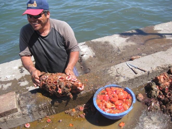 В природе же, Pyura chilensis обретаются на скалистых частях берегов. Основной ареал обитания — побережья Перу и Чили. Здесь на них тоже охотятся кровожадные дайверы: мясо «камней» считается деликатесом в местных ресторанах. Впрочем, способность к репродукции у животного настолько высока, что исчезновение виду точно не грозит.
