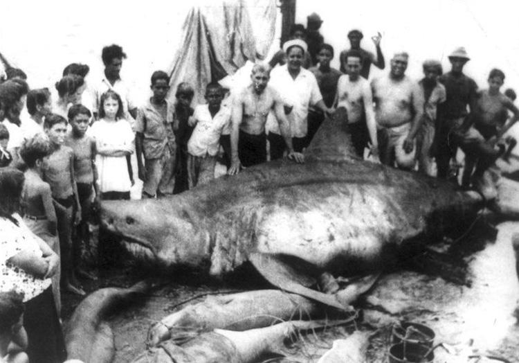 Вес акулы: неизвестен В 1945 году во время плановой рыбалки в Мексиканском заливе 6 рыбаков случайно поймали самую опасную для человека разновидность акул — белую акулу. Длина кархародона составила 6,4 метра. В честь деревушки, откуда они были родом, трофей рыбаки назвали «монстр из Коджимар».