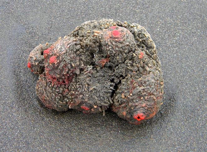 Находчивые японцы выращивают «живые камни» специально, из-за высокого содержания ванадия в их крови. На особых подводных плантациях живут тысячи таких существ, которые потом сжигаются: в оставшейся золе содержится столько ванадия, сколько не находят в отвалах некоторых руд.