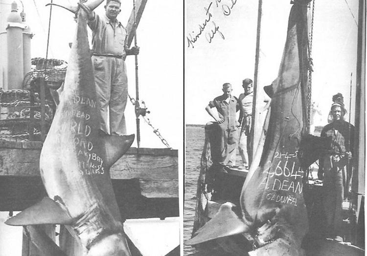 Вес акулы: 1208 кг. Одной из крупнейших пойманных акул, зарегистрированных Международной ассоциацией агентств рыбы и дичи, стала акула, пойманная Альфом Дином. На побережье австралийского Сидуна в 1959 году рыбак выловил 5-метровую акулу весом 1208 кг.