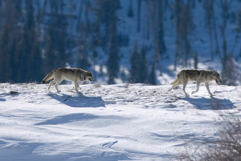 Большинство туристов стремится попасть в Йеллоустонский национальный парк с июля по начало сентября. В это время и дневная температура достигает 25 °C, и от Солт-Лейк-Сити и Бозмена до парка курсируют автобусы. Зимой поездка в эти края будет не такой комфортной, но она того стоит. Именно в этот период в парке можно наблюдать серых волков. Чтобы не затеряться в дикой местности, не лишним будет нанять гида.