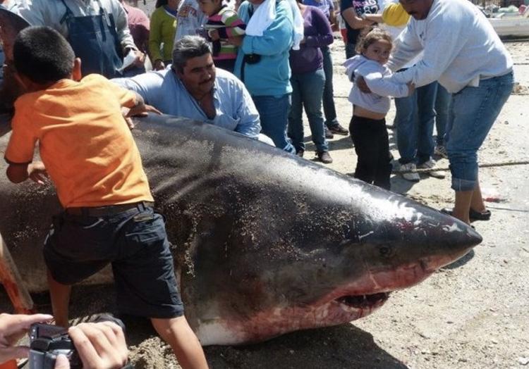 Вес акулы: 907 кг. В 2012 году после очередной рыбалки мексиканский рыбак вернулся местным героем. Его основным уловом, за которым он отправился в море Кортеса, стала 907-килограммовая большая белая акула. Длина акулы составила 6 метров.