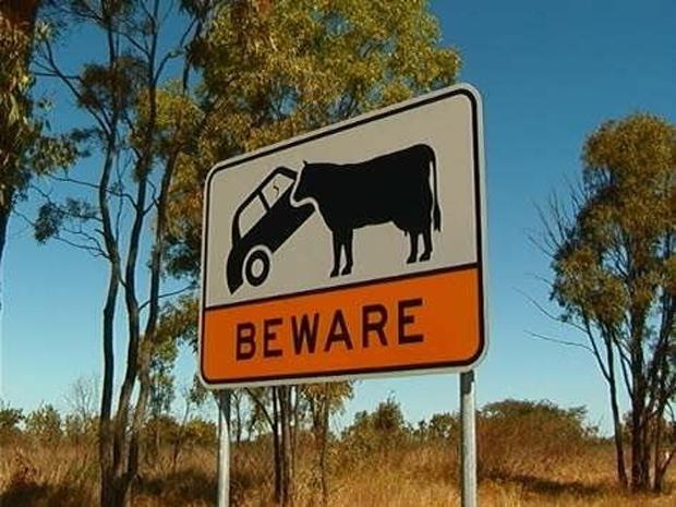 Да, здесь буйволы могут напасть на машину. И, скорее всего, шанса не упустят.