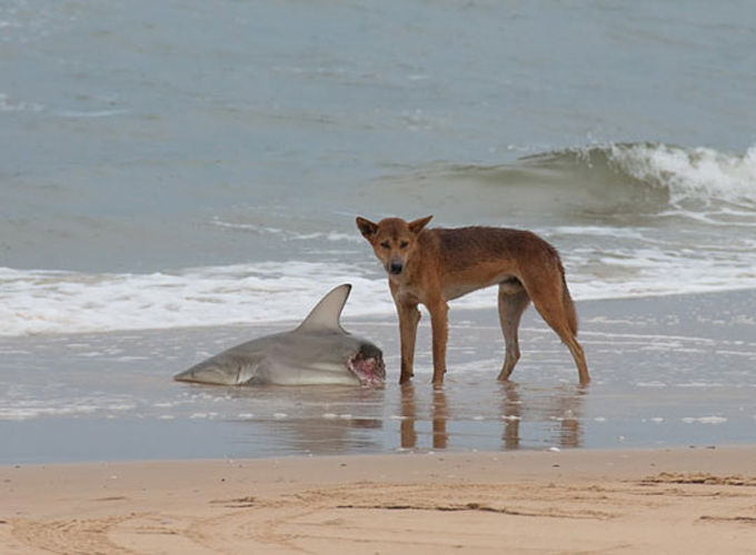 Ничего интересного, собака поймала акулу. И ест. И смотрит на фотографа. Может, это его последняя фотография?