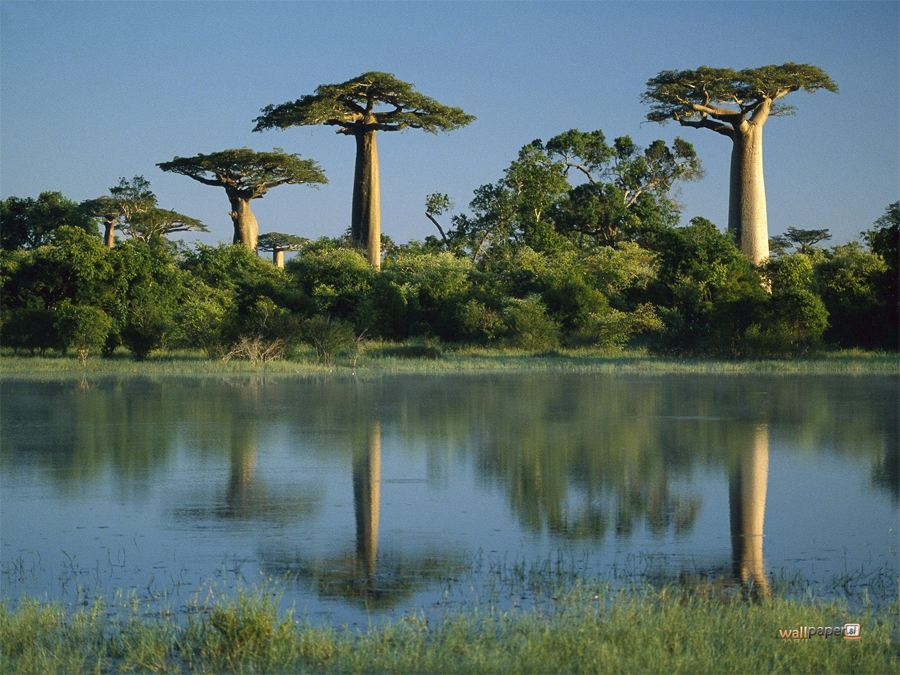 Прибрежные леса Восточной Африки Восточная Африка Прибрежные леса Восточной Африки — совсем небольшой массив. Но здесь сохраняются целых три три эндемичных вида обезьян: красный колобус реки Тана, Чубастый Мангабей и красной колобус Занзибара. Их вполне успешно уничтожают местные жители, как, собственно, и сам лес.