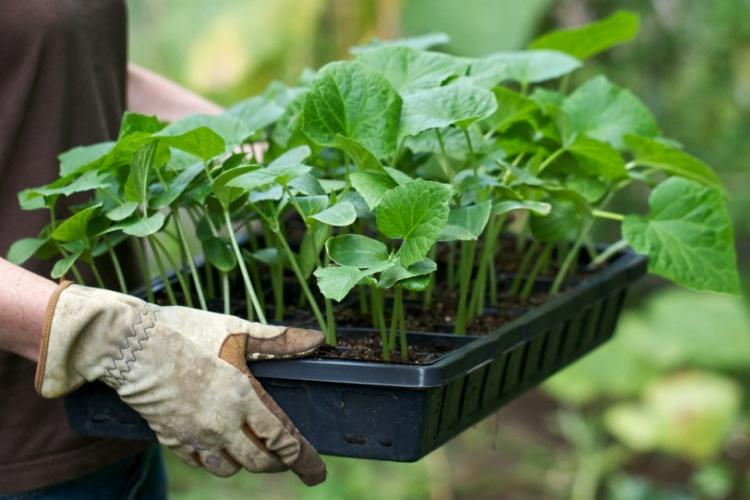 Рассада Из уже пророщенных растений на зимне-весенний период по душе придется зелень из следующего списка: зеленый лук, кабачки, брокколи и кольраби. Из трав подойдут такие морозостойкие экземпляры, как розмарин и тмин.