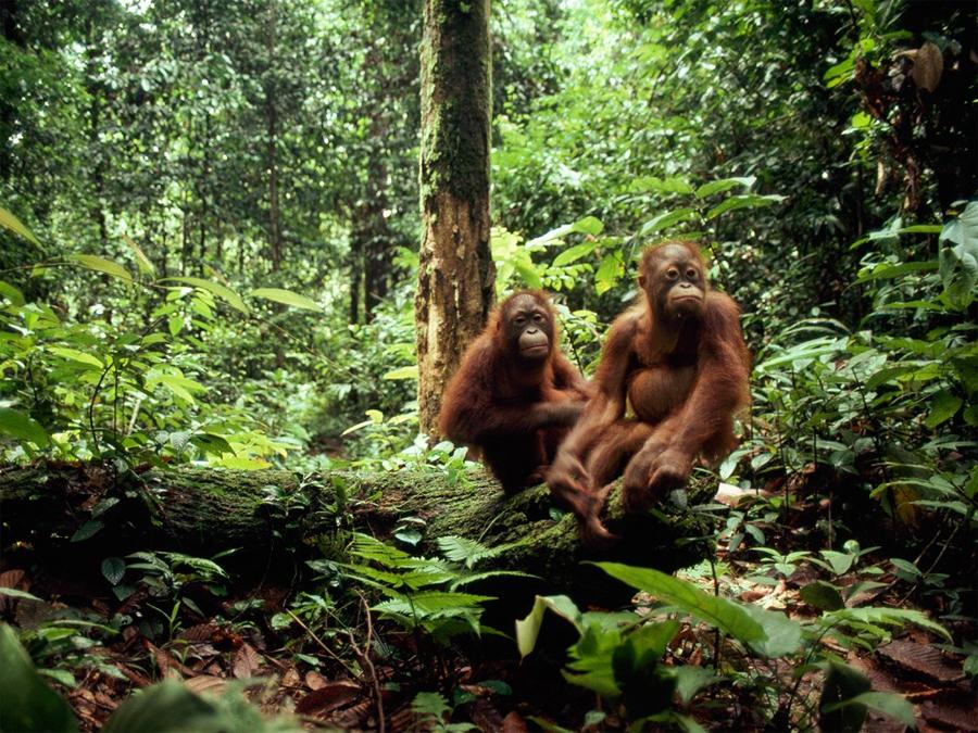Сундаланд Азиатско-Тихоокеанский регион Эти леса располагаются на островах Борнео и Суматра. Резина, пальмовое масло и производство целлюлозы, наряду с незаконными лесозаготовками оставили от их былого величия около лишь жалкие остатки.