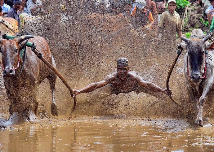 В переводе с языка местного племени минангкабау Паку Джави означает «толкать корову вперед». Для местных жителей опасное соревнование рассматривается в первую очередь как древняя традиция, насчитывающая более нескольких сотен лет.