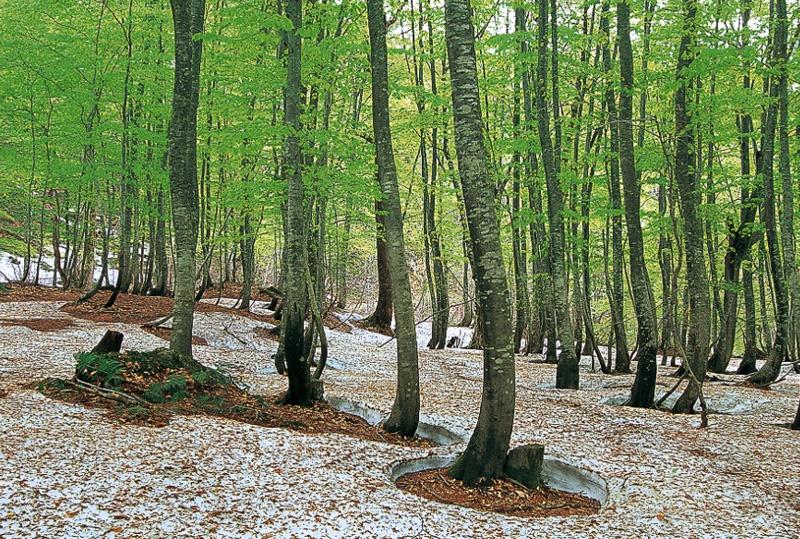 Сираками-Санти, Япония Горный заповедник площадью 1300 кв.км. располагается на севере японского острова Хонсю. На его территории произрастают кленовые, кедровые и сосновые леса, а также единственный значительный массив первозданных в Восточной Азии буковых лесов. 169,7 кв.км. территории объявлены памятником Всемирного наследия ЮНЕСКО.