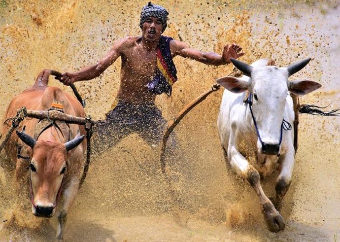 После соревнований животных моют, загоняют в амбары и выставляют на продажу.