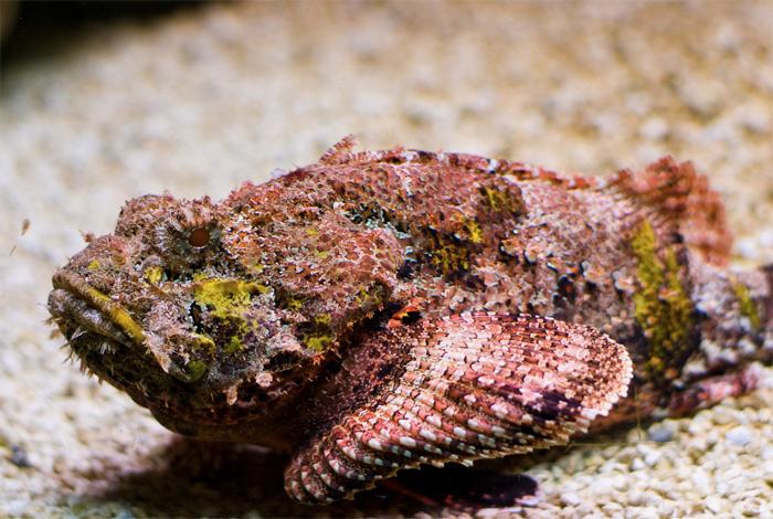 Рыба-камень Этот морской представитель семейства бородавчатковых считается самой ядовитой рыбой в мире. Обитает она возле коралловых рифов Тихого и Индийского океанов и маскируется под камень. 12 шипов спинного плавника имеют самые сильными среди рыб ядовитые железы. В зависимости от глубины проникновения яд может вызывать сильнейшую боль с возможным шоком, паралич и отмирание тканей. При попадании шипа в крупный кровеносный сосуд через 2—3 часа может наступить смерть.