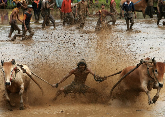 Гонки устраивается сразу же после уборки урожая риса. Площадкой для соревнований служит рисовое поле, наполненное водой и грязью.