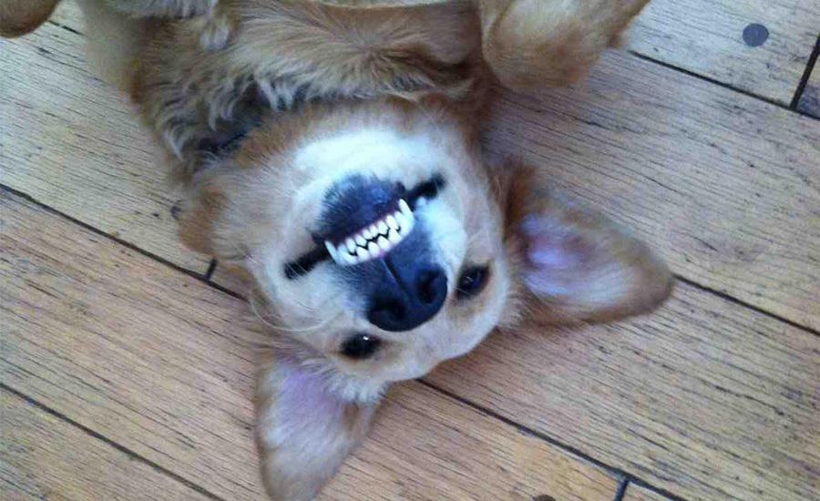 Пес и зубы Намажьте его любимую игрушку зубной пастой и дайте пожевать. Повторяйте ежедневно и скоро зубы вашего питомца по белоснежному блеску сравнятся с улыбками голливудских красавцев!