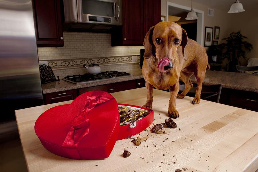 Пес и нельзя Список вредных для собак продуктов не заканчивается на шоколаде. Между прочим, им нельзя потреблять также виноград (приводит к почечной недостаточности), персики, лук и чеснок. Последние два могут вызвать у вашего питомца анемию (повреждение клеток крови), так что шутить с этим не стоит. Напомним, что алкоголь также для собак противопоказан. Объяснять почему, надеюсь не надо?
