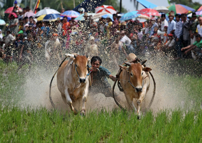Держат «жокеи» коров за хвосты, иногда кусая их, пытаясь таким образом заставить животное бежать быстрее.