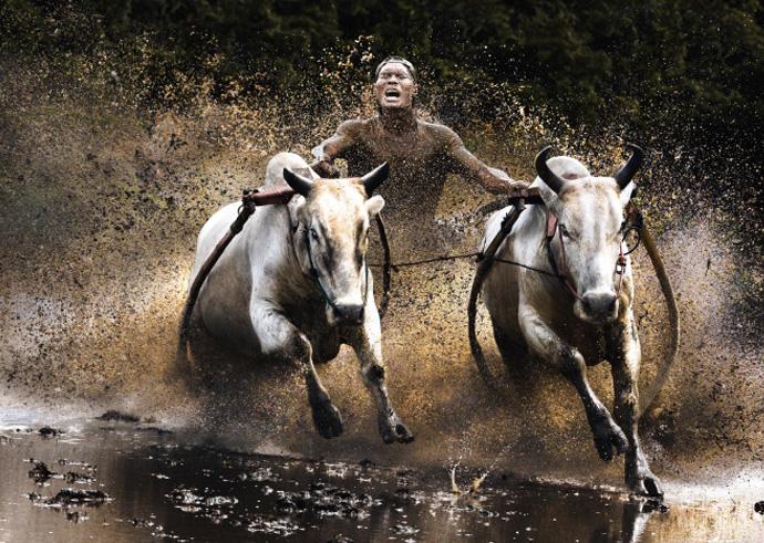 Хорошие показатели забега позволяют продавцам поднятьцену. Обычно победивший бычок оценивается примерно в два раза дороже обычного.