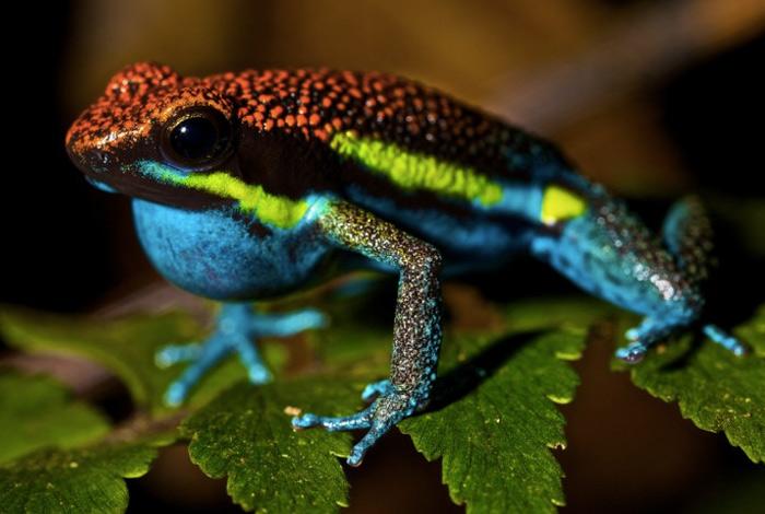 Древолазы В дождевых лесах Центральной и Южной Америки обитают лягушки, вырабатывающие сильный яд. Их кожные выделения содержат алкалоиды-батрахотоксины. При соприкосновении с кожным покровом человека яд вызывает легкое жжение и головные боли. Если же яд попадет в организм человека или животного через кровь, это приведет к аритмии, фибрилляции и остановке сердца.