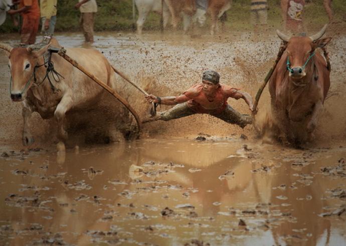 Задача наездников сводится к тому, чтобы заставить бежать быков по прямой линии. Длина участка, который необходимо преодолеть, не упав в грязь лицом в самом прямом смысле слова, составляет около 20-30 метров.