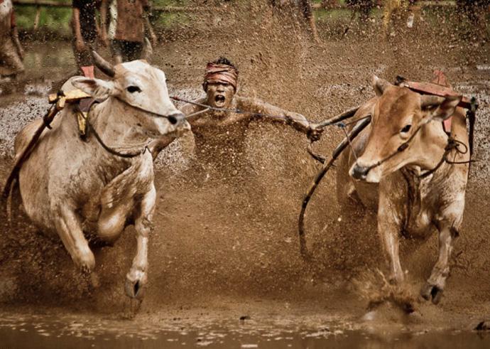 Неотъемлемыми атрибутами соревнований являются ошметки грязи, коровьи лепешки и «душ» из темной жижи с рисового поля.