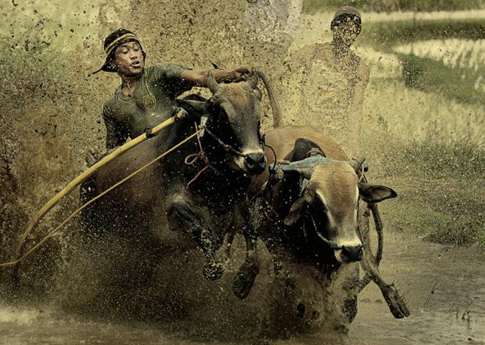 В гонках участвует около 500-700 быков. Наездники управляют свободной упряжкой из двух животных, стоя босиком на маленькой деревянной подставке.