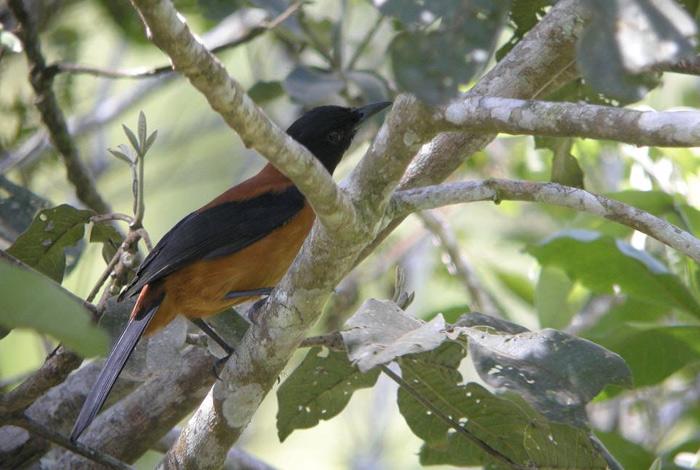Дроздовые мухоловки Кожа и перья этих птиц, живущих в лесах Новой Гвинеи, содержит яд батрахотоксин. В организм питоху он попадает от жуков Choresine pulchra, которых едят птицы. К яду у птиц вырабатывается иммунитет. При соприкосновении с питоху человек может отделаться химическим ожогом, для мелких животных контакт заканчивается летальным исходом.