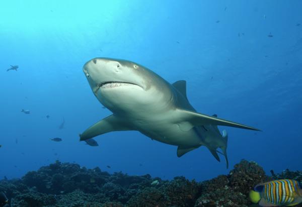 На каждом шагу ловцов жемчуга подстерегает масса опасностей. Во время погружения они могут повстречать на своем пути медуз, морских змей, акул и других, явно недружелюбно настроенных представителей подводного царства.