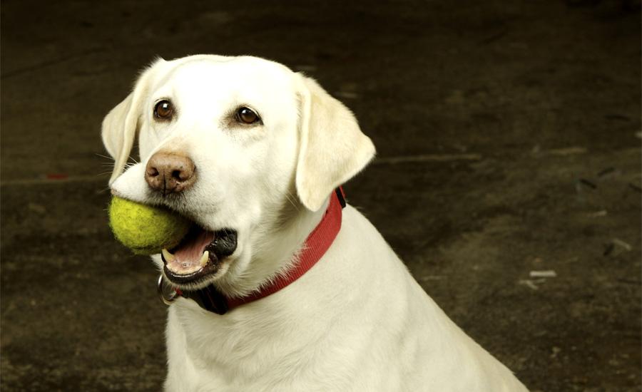 Пес и еда Если ваш питомец ест как не в себя, а потом сам же от этого страдает – кладите в его миску с кормом теннисный мяч. Это заставит зверюгу сбавить обороты и даст столь необходимую его желудку передышку.