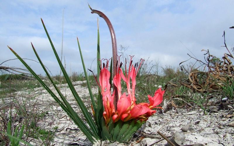 Живой насест Растение из ЮАР, часто именуемое как крысиный хвост, специально для удобства опыляющих его птиц, вырастило жесткий вертикальный ствол. Птица садится на ствол, свешивается вниз головой, чтобы попить нектар, и попутно опыляет цветок. Необычное эволюционное нововведение связано с тем, что птицы боятся приближаться к земле, опасаясь хищников. А полностью зависящие от птиц-опылителей растения постарались сделать опыление для птиц максимально комфортным. С чем они и справились блестяще.