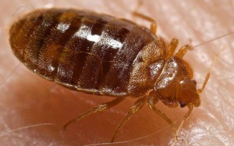 Клопы Еще тысячелетия назад наши предки, жившие в пещерах, были прекрасно знакомы с проблемой клопов. К сожалению, когда люди переселились в города, клопы мигрировали вслед за ними. Наша социальная эволюция буквально подстегнула естественную эволюцию этих отвратительных насекомых. Городские клопы перешли на ночной образ жизни, отрастили более длинные ноги для прыжков. Более толстый, чем у их пещерных предков, экзоскелет и ускоренный обмен веществ гарантируют эффективную защиту от пестицидов.