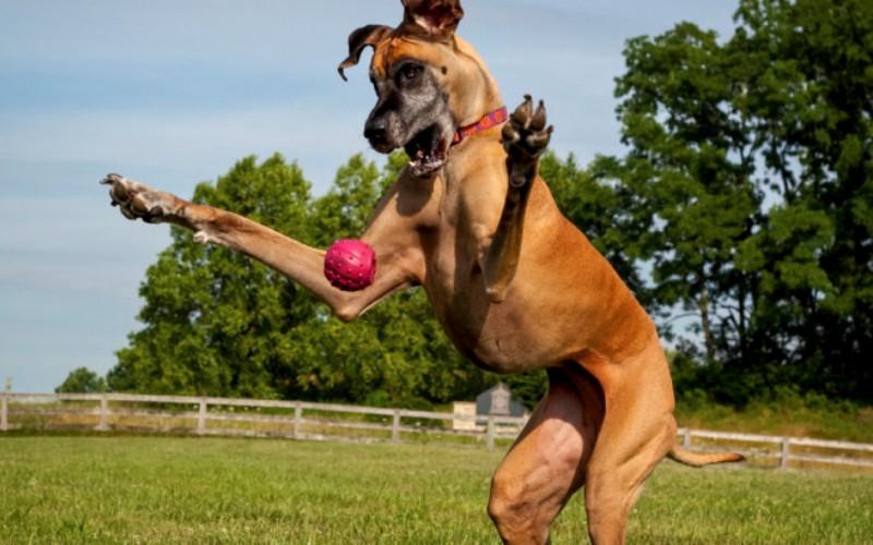 Они опасны То ли просто из-за больших размеров, то ли из-за устоявшегося стереотипа считается, что большие собаки сверхагрессивны. Частенько в этом обвиняют питбулей, но, правда в том, что большинство из них безобидны. Владелец собаки в этом плане гораздо сильнее влияет на нее, и если вы видите, что собака ведет себя агрессивно, то это происходит, скорее всего, из-за жестокого к ней обращения или плохой социализации.