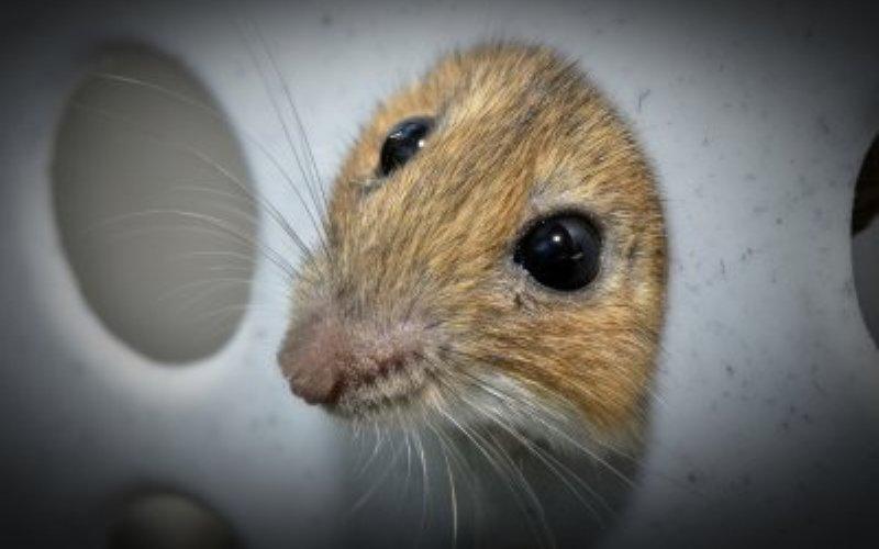 Устойчивые к пестицидам мыши Как правило, представители разных видов не могу скрещиваться друг с другом и давать плодовитое потомство. Это касается и мышей, но 50 лет назад 2 вида смогли преодолеть барьер, поставленный самой природой. Алжирские и домовые мыши скрещиваясь, смогли дать плодовитое потомство. Это было возможно только при единственно верном сочетании генов. Новый гибрид получил от предков ценный дар: кусок генетического кода делает грызунов невосприимчивыми к яду варфарину, исключая летальный эффект от пестицидов для этих мышей.