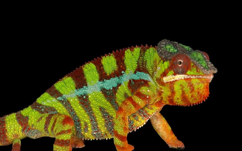 Иридофоры - светоотражающие клетки Исследовательская группа, состоящая из физиков и биологов Женевского университета выяснила, что кожа рептилий содержит два слоя светоотражающих клеток – иридофоров, меняющих геометрическую структуру поверхности кожи тогда, когда хамелеон в этом нуждается.