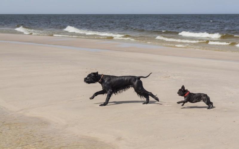 Большие собаки быстро бегают На самом деле, как правило, более крупные породистые псы часто страдают от такого заболевания, как дисплазия тазобедренного сустава, что делает бег для них серьезным испытанием. Так что многие их более мелкие собратья на практике оказываются куда лучшими бегунами.