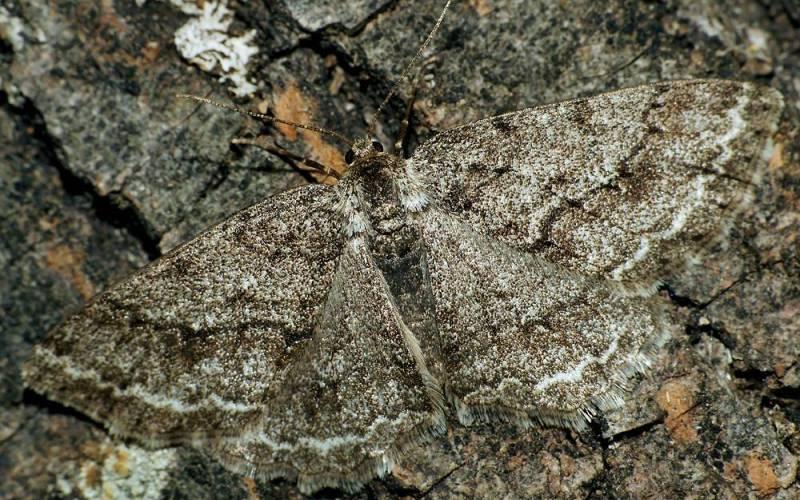 Пяденицаи индустриализация Бабочку пяденицу обычно легко заметить на темной поверхности: у нее белые крылья с крошечными темными пятнами. Во время промышленной революции в Англии и США обилие свежеиспеченных фабрик поставило существование пядениц под угрозу. Светлый окрас бабочек был хорошо заметен для хищников на покрытых сажей улицах. Спустя несколько поколений бабочки смогли полностью поменять свою расцветку на темную. Когда в 70-х годах прошлого века принятые меры по борьбе с загрязнением среды уменьшили количество сажи, потемневшие бабочки опять стали слишком заметны. И несчастным пяденицам не оставалось ничего другого, кроме как вернуться к своему первоначальному светлому окрасу.