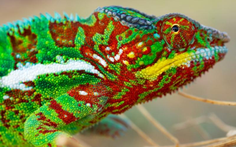Цветовые вариации В дальнейшем на окрас хамелеона влияют уже желтые пигментные клетки – ксантофоры. Вступая во взаимодействие с нанокристаллами, они создают различные цветовые комбинации, окрашивающие рептилиюв зеленый, оранжевый или желтый цвет. Это необходимо для того, чтобы хамелеон мог эффективнее прятаться от хищников, впечатлять самку или устрашать соперников.