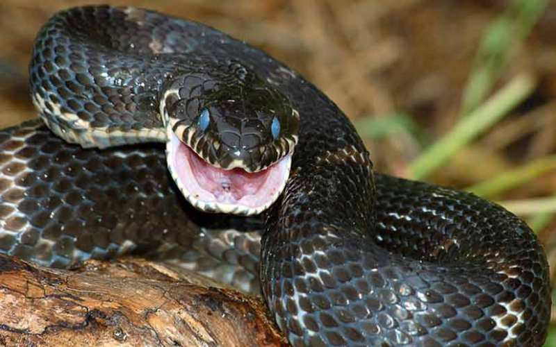 Змеи всегда нападают при виде людей Как показывает статистика, чаще всего змеи кусают людей в целях самообороны. Если змея при виде вас шипит и делает угрожающие движения – значит, она просто хочет, чтобы ее оставили в покое. Стоит вам немного отступить, и змея тут же скроется из вида, спеша спасти свою жизнь.