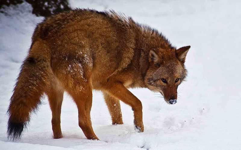 Койвольфы Новый хищник гибрид койота и волка, или койвольф, впервые появился несколько десятилетий назад на северо-восточной территории США. Койвольф вряд ли бы появился, если бы фермеры и охотники не вынудили уйти его предков из их естественных мест обитания. ДНК волков позволяет гибридам охотиться на крупную добычу сообща, в то время как ДНК койотов помогает им быстрее адаптироваться в городской среде. Эти крупные, весом до 70 кг, звери лучше приспособленык своему месту обитания, чем их предки, а значит, смогут и дальше стабильно увеличивать свою численность.