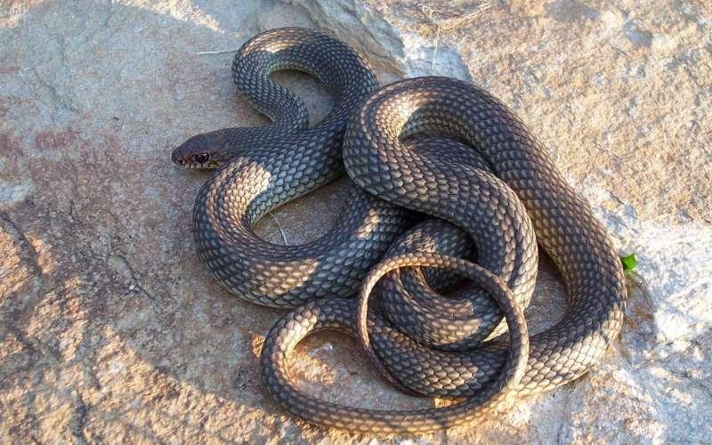 Змеи холодные на ощупь Змеи являются типичными представителями хладнокровных животных. И поэтому температура тела змеи будет такой же, как и температура внешней среды. Поэтому, не имея возможности поддерживать оптимальную температуру тела (чуть выше 30 °С), змеи так любят греться на солнце.