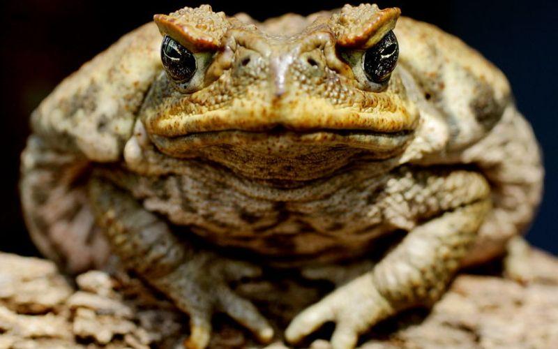 Жабы-путешественницы Около 75 лет назад австралийское сахарное бюро решило вывезти несколько южноамериканских тростниковых жаб из Гавайев в Австралию. По их замыслу жабы должны были избавить сахарные плантации от жуков, пожирающих тростник. В новой среде, где у жаб не было естественных врагов, их популяции ничего не оставалось, кроме как расти в геометрической прогрессии. По сравнению со своими предками, австралийские жабы имеют более длинные ноги и могут совершать прыжки на большее расстояние. Благодаря таким эволюционным усовершенствованиям, эти земноводные стремительно распространились по всей Австралии.