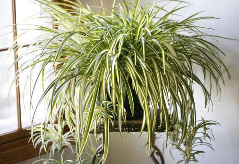 Хлорофитум Одно из самых неприхотливых домашних растений поглощает формальдегид, азотистые соединения и бензол. Также растение выделяет в воздух вещества, предотвращающие развитие опасной микрофлоры, а, как утверждают эксперты по фэн-шую, оно еще и борется с негативной энергетикой.