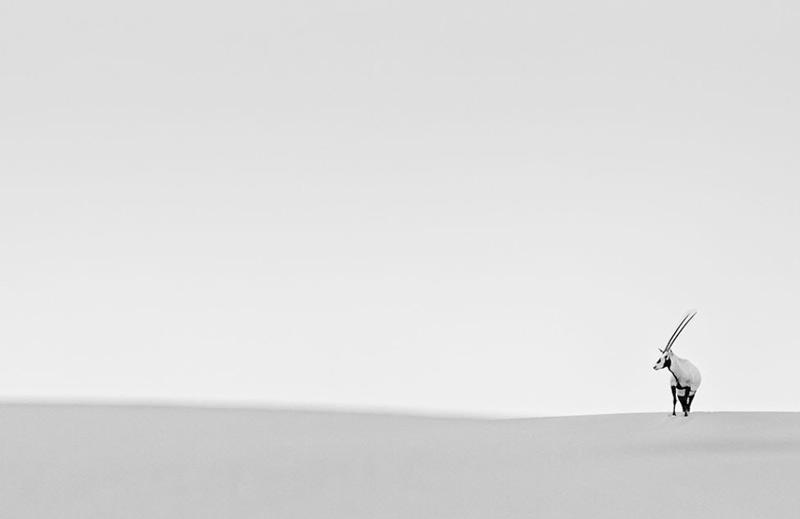 Стефан Герритс. Победитель в категории «Понимание дикой природы». Антилопа бейза посреди пустыни в ОАЭ.