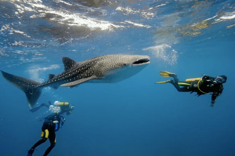 Поплавать с китовыми акулами и скатами у берегов Мозамбика.