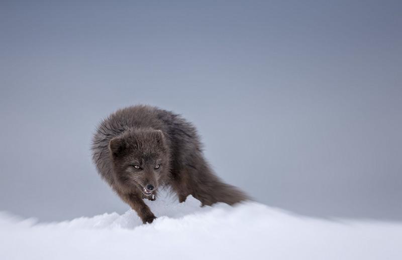 Джошуа Холко. Вторая премия номинации «Понимание дикой природы». Песец на северо-востоке Исландии.