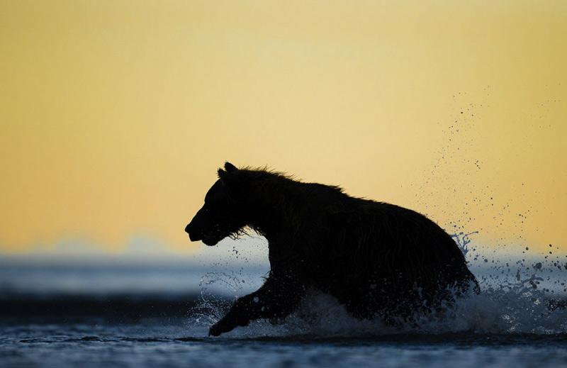 Кевин Морганс. Вторая премия номинации «Понимание дикой природы». Медведь гризли ловит рыбу в озере Кларк.