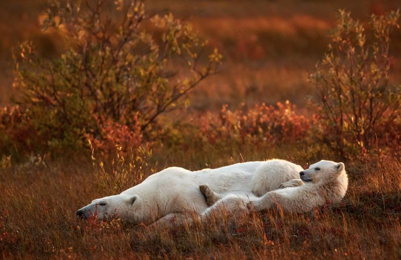Майкл Мэйс. Вторая премия номинации «Понимание дикой природы». Мать и детеныш. Фото сделано недалеко от города Черчилл.