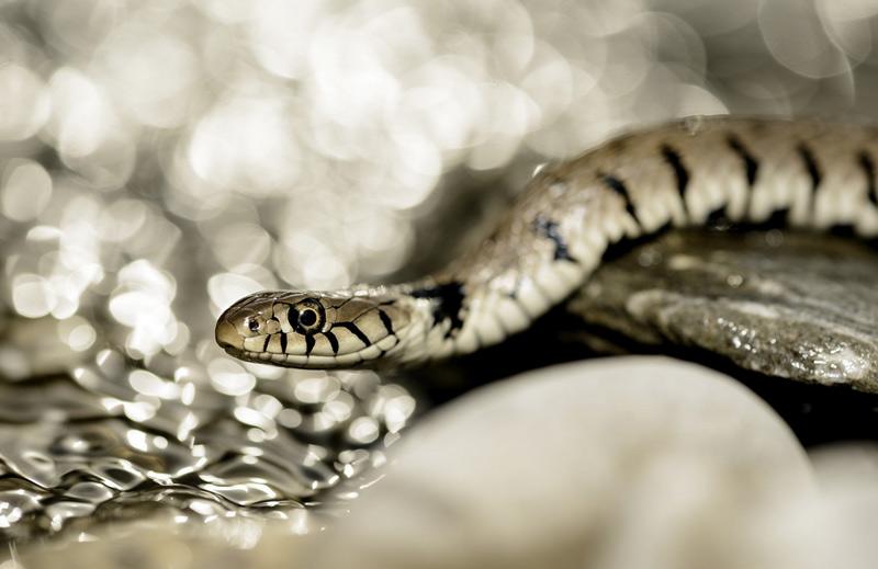 Джованни Маурици. Вторая премия номинации «Маленький мир». Змея.