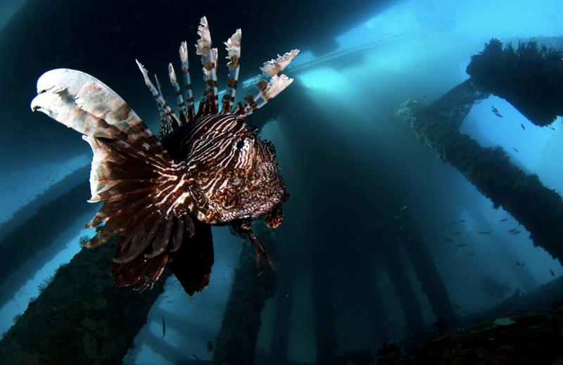 Джо Даниэлс. Вторая премия номинации «Недостаточная экспозиция». Рыба-крылатка у острова Амбон.