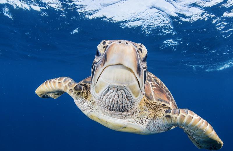Стив де Ниф. Вторая премия номинации «Недостаточная экспозиция». Зеленая морская черепаха около острова Аро.