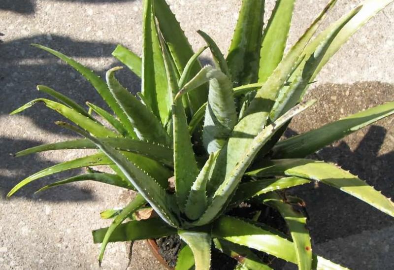 Алоэ вера Растение может отфильтровать многие загрязняющие воздух вещества, включая формальдегид и бензол. Кроме того, оно снижает содержание в воздухе простейших микроорганизмов.
